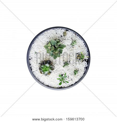 Top view of ornamental plants in plastic pot isolated on white background.
