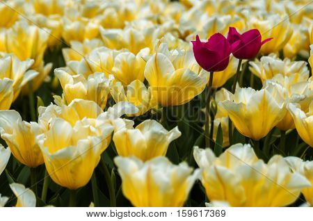 Two pink misfits in a field of yellow tulips