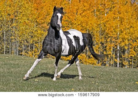 Tobiano Pinto Stallion trotting in meadow in front of Aspen trees in autumn colors