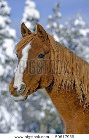 Portrait of Chestnut Arabian Stallion standing in field swith snow covered trees in background