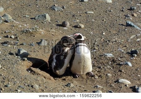 Colony of Magellanic penguins on Magdalena Island