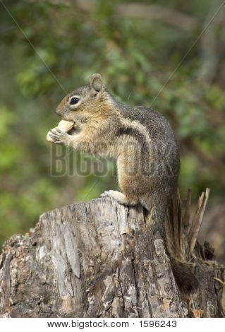 Chipmonk Eating A Peanut