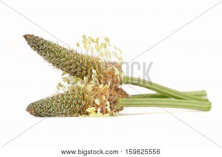 Inflorescences of plantago lanceolata (ribwort plantain) isolated on a white background