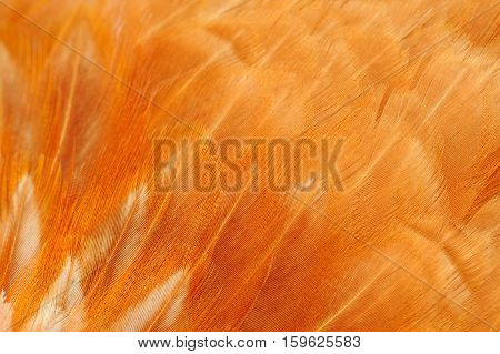 A macro shot of red chicken feathers