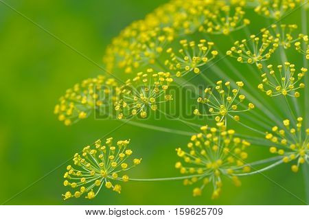 A close-up of dill umbel with flowers