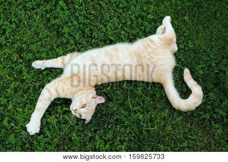 Cat Posing On Green Grass