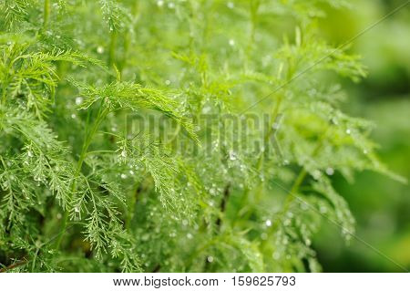 A green southernwood (artemisia abrotanum) plant with water drops