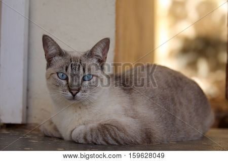 A Cat with blue eyes from Brazil