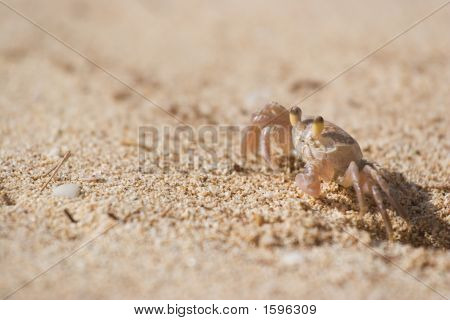 Sand Crab standing out of his hole looking for food. poster