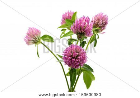 blooming clover flower on a white background