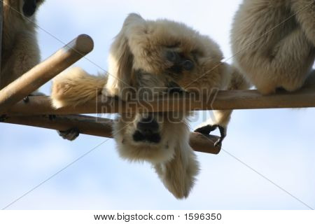 Funny_Monkey