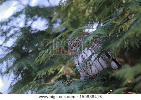 Perching Pygmy Owl (Glaucidium passerinum) at thuja tree. Moscow Russia