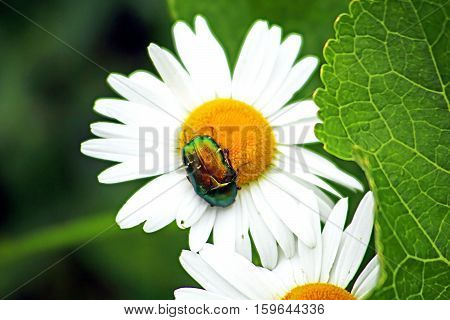 Bug (Cetonia aurata) on chamomile in the garden