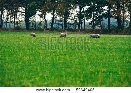 Small Group Of Grazing Sheep With One Looking Up.