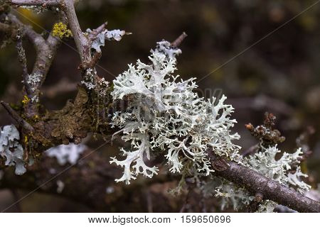 Lichen / Lichen growing on the tree.
