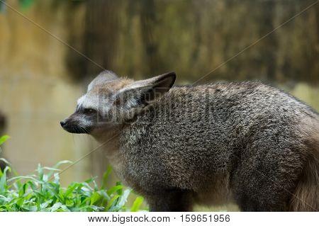 A Bat-eared fox shown in zoo at thailand