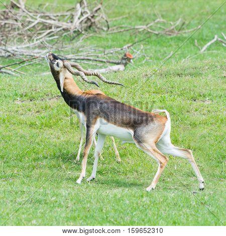 A Male Grant's gazelles in breeding behavior poster