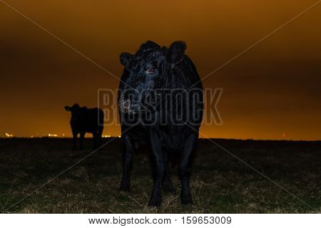 Cow defending calf at night in front of city lights. Black cattle on hill top in English countryside with mother protecting her offspring