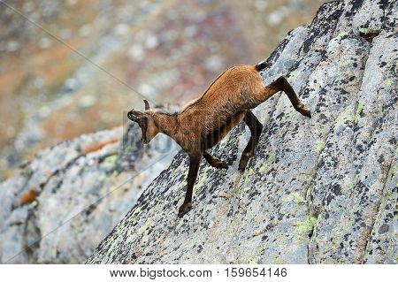 young chamois down from a steep rock