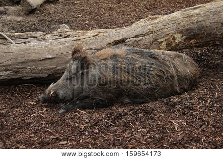 Wild boar / wild boar lies in the mud