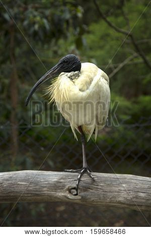 Portrait of an Ibis bird standing on a wooden fence