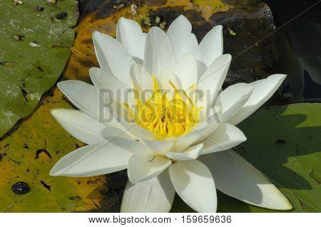 White Water-lily - Nymphaea alba Single flower closeup