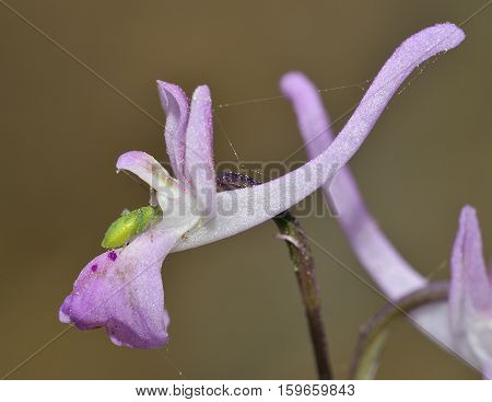 Troodos Orchid - Orchis troodi Endemic Cyprus Orchid of Pine Forests