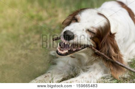 Angry dog chewing a stick and showing his teeth