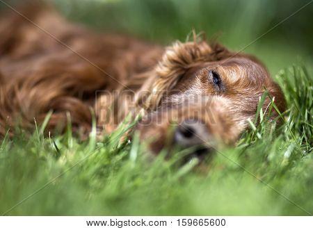 Portrait of a beautiful old sleeping Irish Setter dog