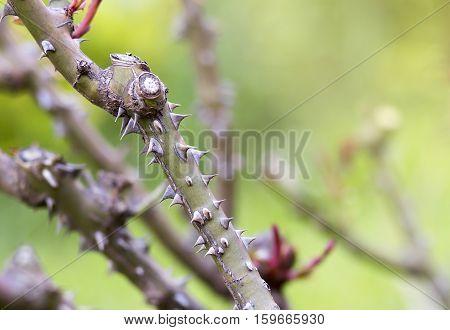 Closeup of prickle rose stem and thorns