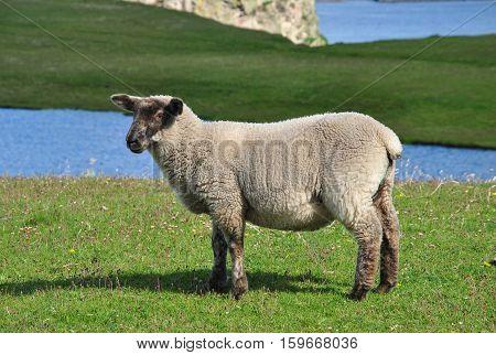 Sheep on Mainland, Shetland Islands. Scotland, UK