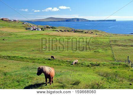 Shetland ponnies with landscape of Mainland, Shetland Islands, Scotland, UK