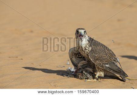Saker Falcon (falco cherrug) in a desert near Dubai
