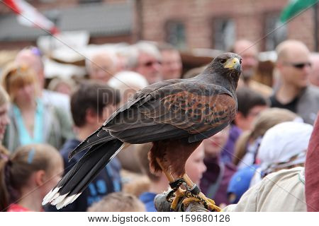 Animal world / Bird of prey / Falcon