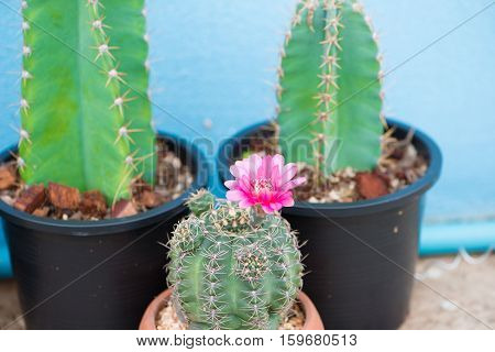 Cactus and flower in pot show nature concept