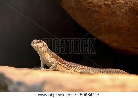 Lizard / The close-up of a lizard on rock