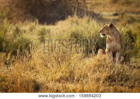 lion found in Mikumi National Park, Tanzania
