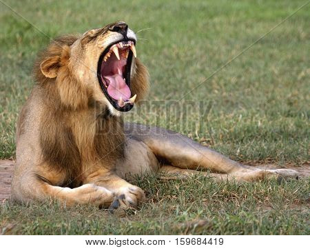 lion found yawning in Mikumi National Park, Tanzania