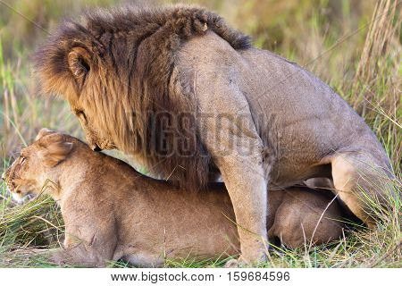lion mating in Mikumi National Park, Tanzania