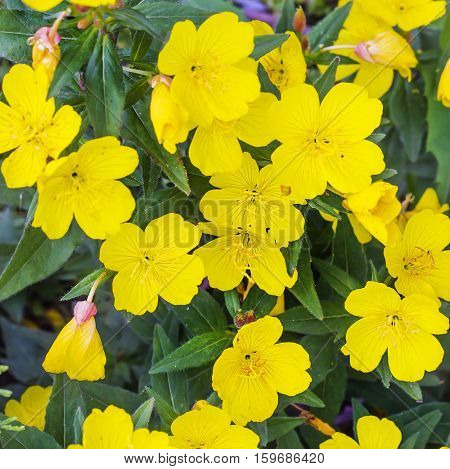 Shrubby evening primrose (Oenothera fruticosa L. ). Ornamental hardy perennial plant with yellow flowers