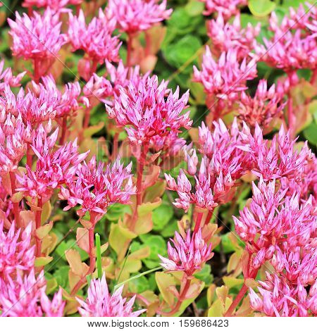 Sedum false