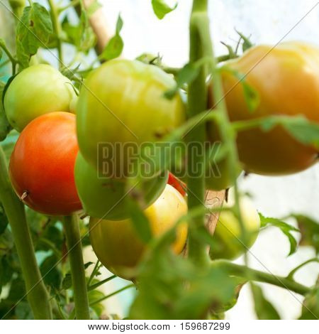 Fresh ripe and unripe tomatoes in the greenhouse