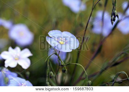 Linum Perenne (perennial Flax)