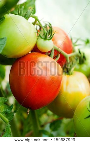 Fresh ripe and unripe tomatoes at greenhose