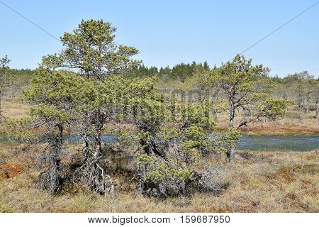 Beautiful pine trees growing near swamp waters.