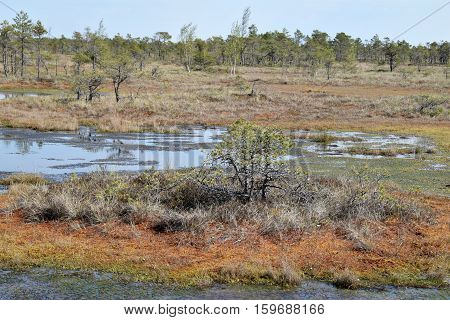 Swamp scenery at springtime - trees and swamp waters.