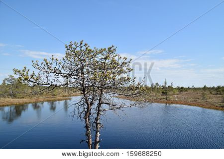 Beautiful pine tree growing near waters in a swamp.