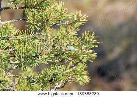 Green hairstreak on fresh pine branches at springtime.