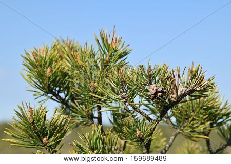 Fresh pine tree branches and cones at springtime