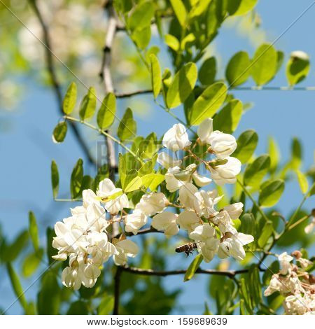 The honey locust tree -Bee and blossom against blue sky. Acacia is very important for beekeeping bees because of its fragrant flowers make a wonderful early honey. Botanical name is Robinia pseudoacacia